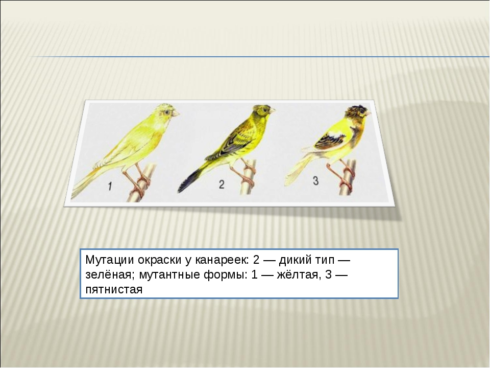 Мутации окраски у канареек: 2 — дикий тип — зелёная; мутантные формы: 1 — жёл...