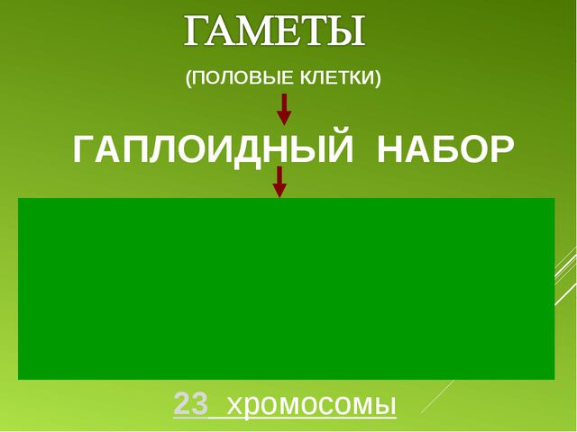 ГАПЛОИДНЫЙ НАБОР (ПОЛОВЫЕ КЛЕТКИ) 23 хромосомы 1 2 3 4 5 6 7 8 9 10 11 12 13...