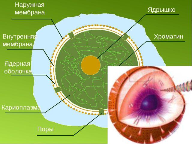 кариоплазма
