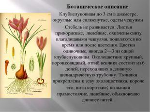 Ботаническое описание Клубнелуковицы до 3 см в диаметре, округлые или сплюсну