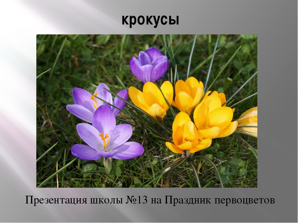 крокусы Презентация школы №13 на Праздник первоцветов
