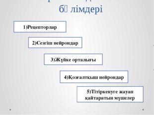 Рефлекстік доғаның бөлімдері 1)Рецепторлар 2)Сезгіш нейрондар 3)Жүйке орталығ