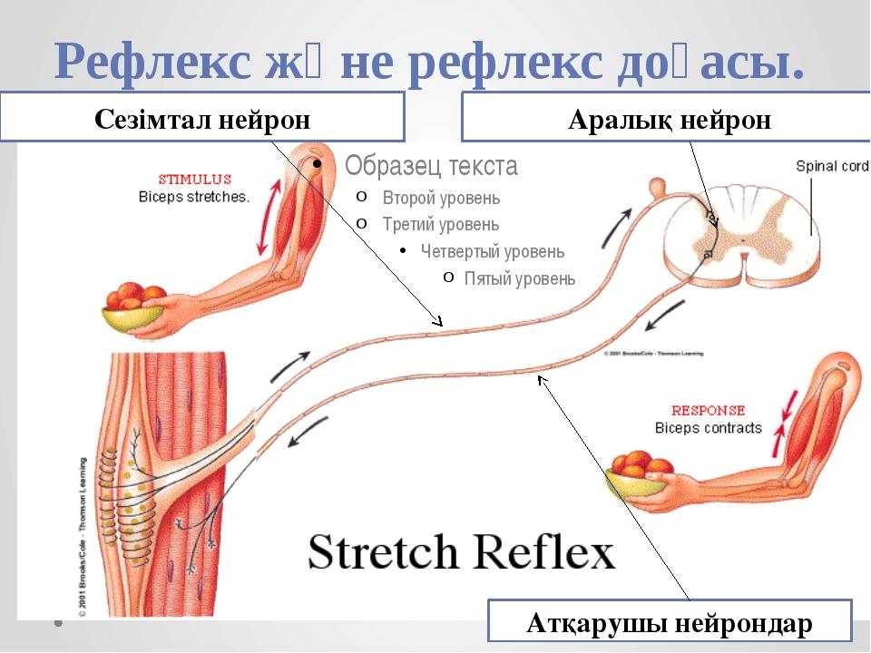 Рефлекс және рефлекс доғасы. Сезімтал нейрон Аралық нейрон Атқарушы нейрондар