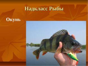 Надкласс Рыбы Окунь