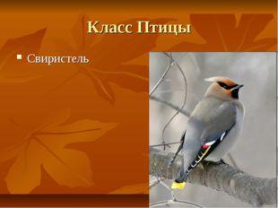 Класс Птицы Свиристель