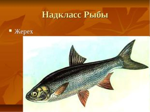 Надкласс Рыбы Жерех