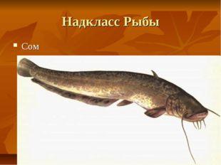 Надкласс Рыбы Сом