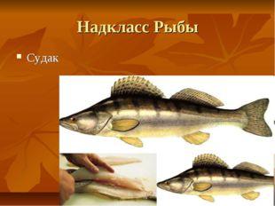 Надкласс Рыбы Судак