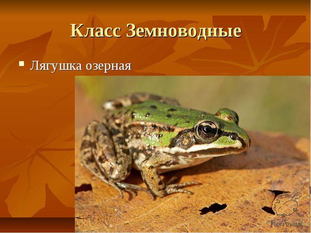 Класс Земноводные Лягушка озерная