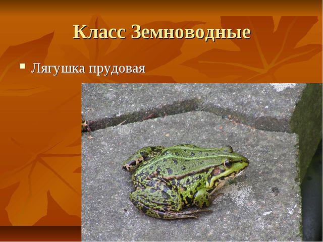 Класс Земноводные Лягушка прудовая