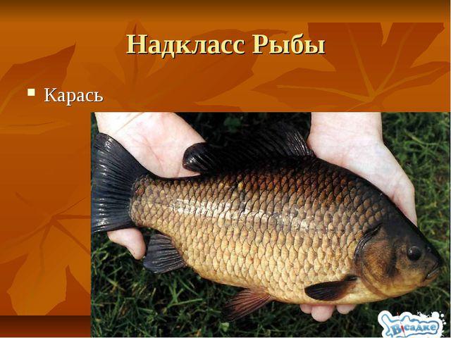 Надкласс Рыбы Карась