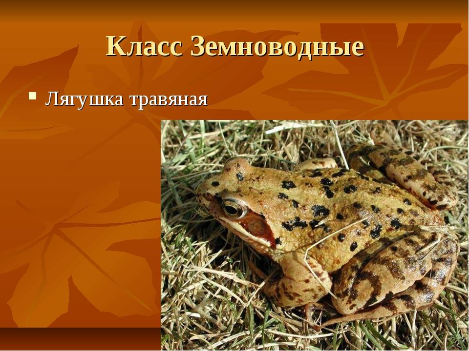 Класс Земноводные Лягушка травяная