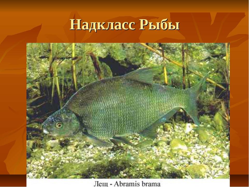 Надкласс Рыбы