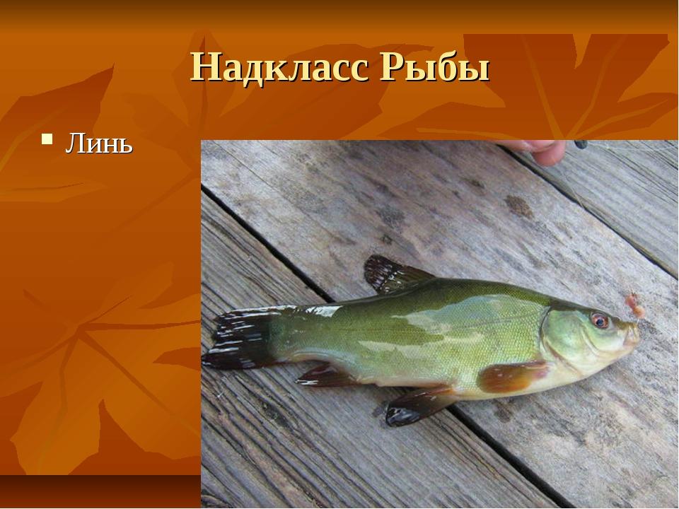 Надкласс Рыбы Линь