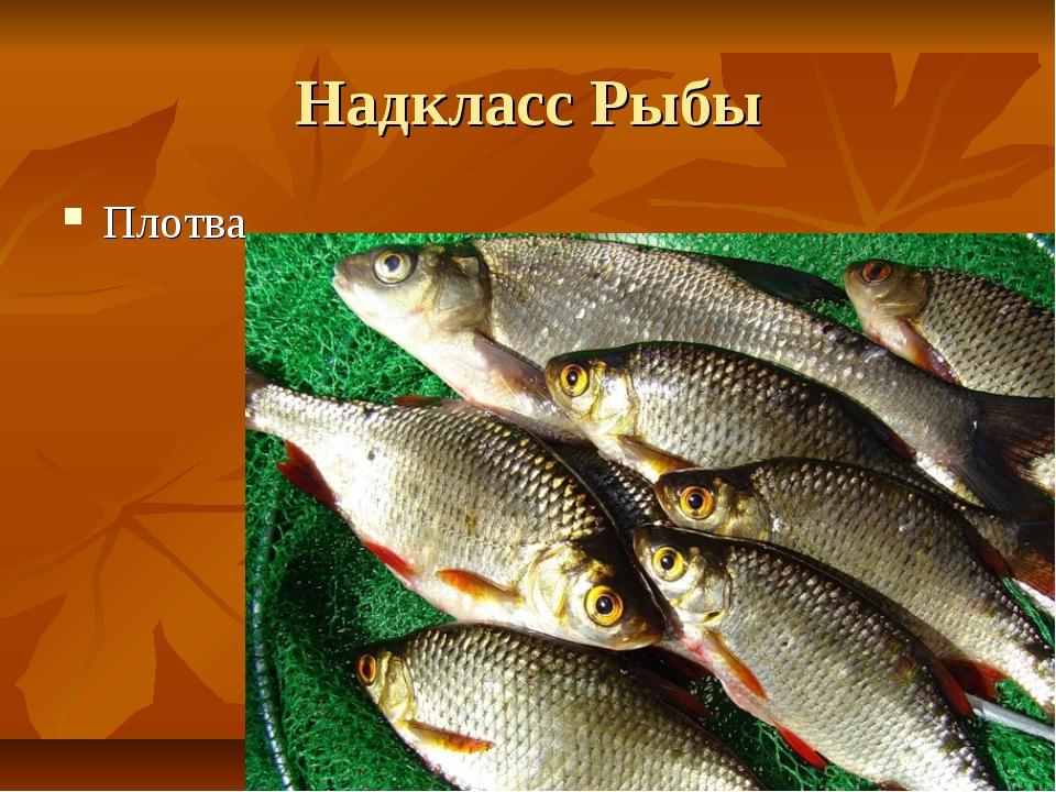 Надкласс Рыбы Плотва
