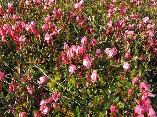 Цветение клюквы