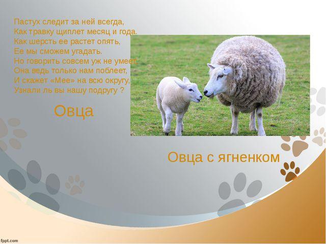 Овца Пастух следит за ней всегда, Как травку щиплет месяц и года. Как шерсть...
