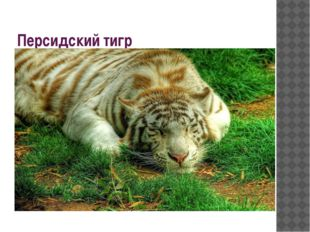 Персидский тигр