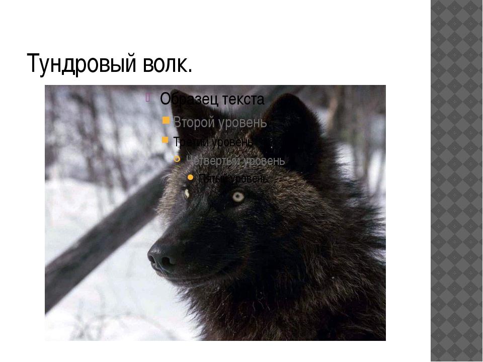 Тундровый волк.