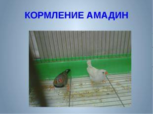 КОРМЛЕНИЕ АМАДИН