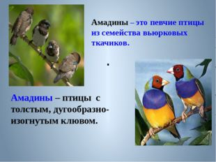 . Амадины – это певчие птицы из семейства вьюрковых ткачиков. Амадины – птицы