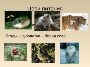 Цепи питания Лемминг – песец – волк Ягоды – куропатка – белая сова
