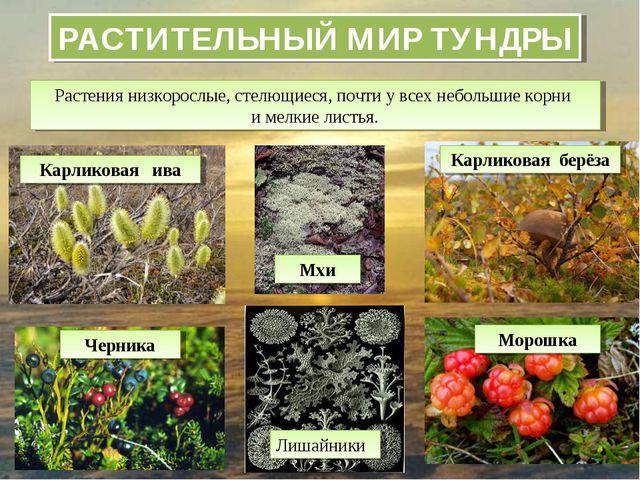 РАСТИТЕЛЬНЫЙ МИР ТУНДРЫ Растения низкорослые, стелющиеся, почти у всех неболь...