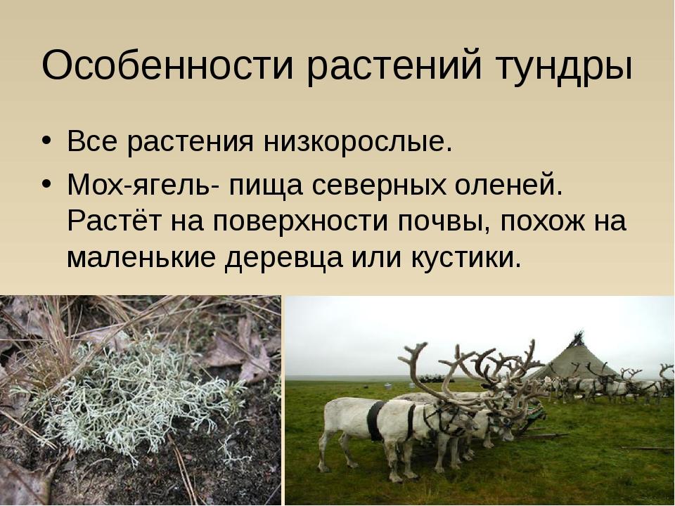 Особенности растений тундры Все растения низкорослые. Мох-ягель- пища северны...