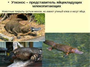 Утконос – представитель яйцекладущих млекопитающих Животные покрыты густым ме