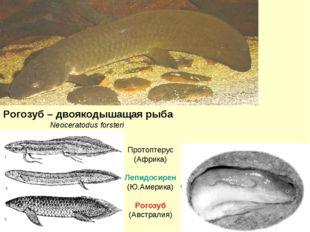 Рогозуб – двоякодышащая рыба Neoceratodus forsteri Протоптерус (Африка) Лепид