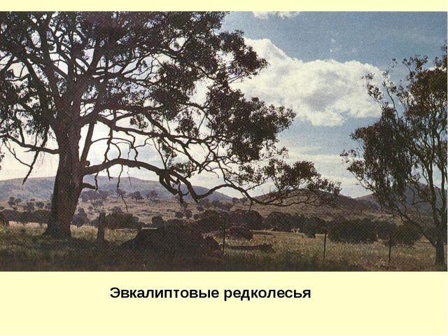 Эвкалиптовые редколесья