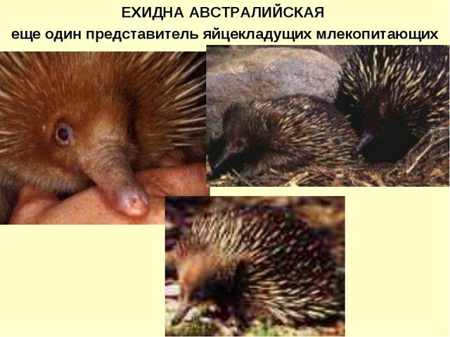 ЕХИДНА АВСТРАЛИЙСКАЯ еще один представитель яйцекладущих млекопитающих