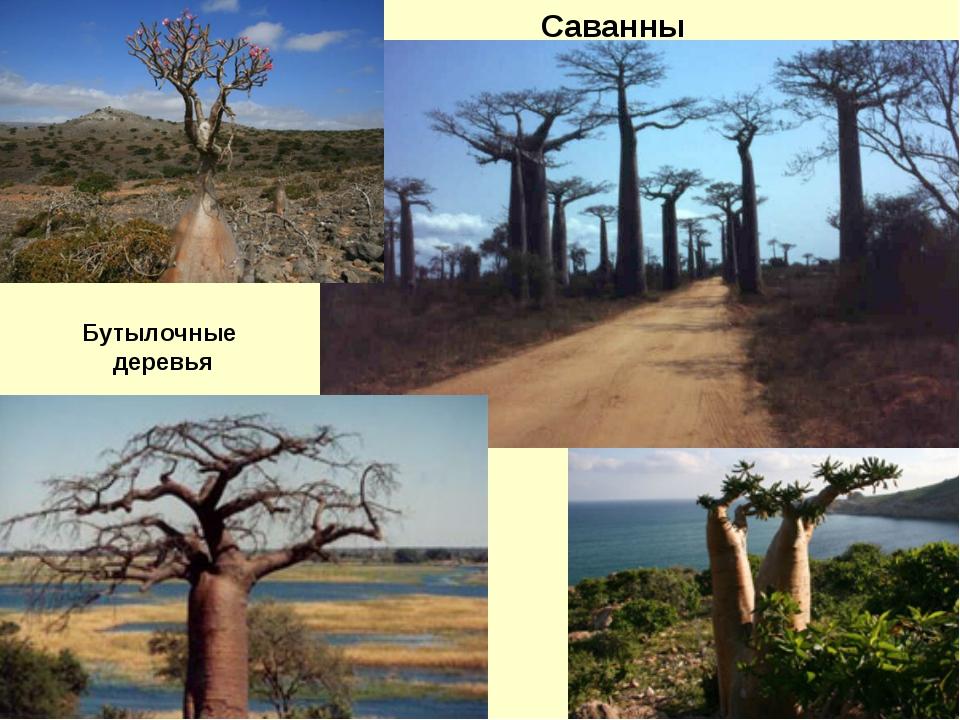 Саванны Бутылочные деревья