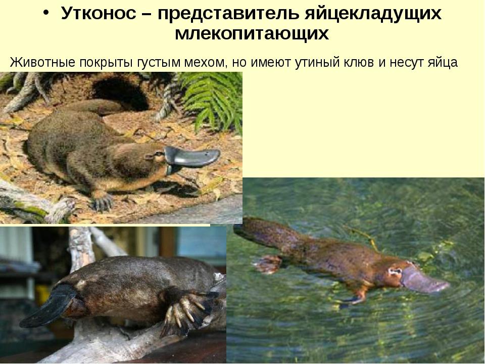 Утконос – представитель яйцекладущих млекопитающих Животные покрыты густым ме...