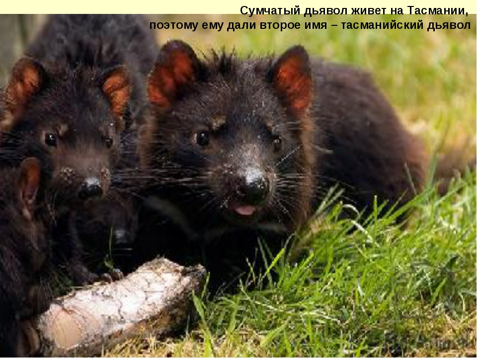 Сумчатый дьявол живет на Тасмании, поэтому ему дали второе имя – тасманийский...