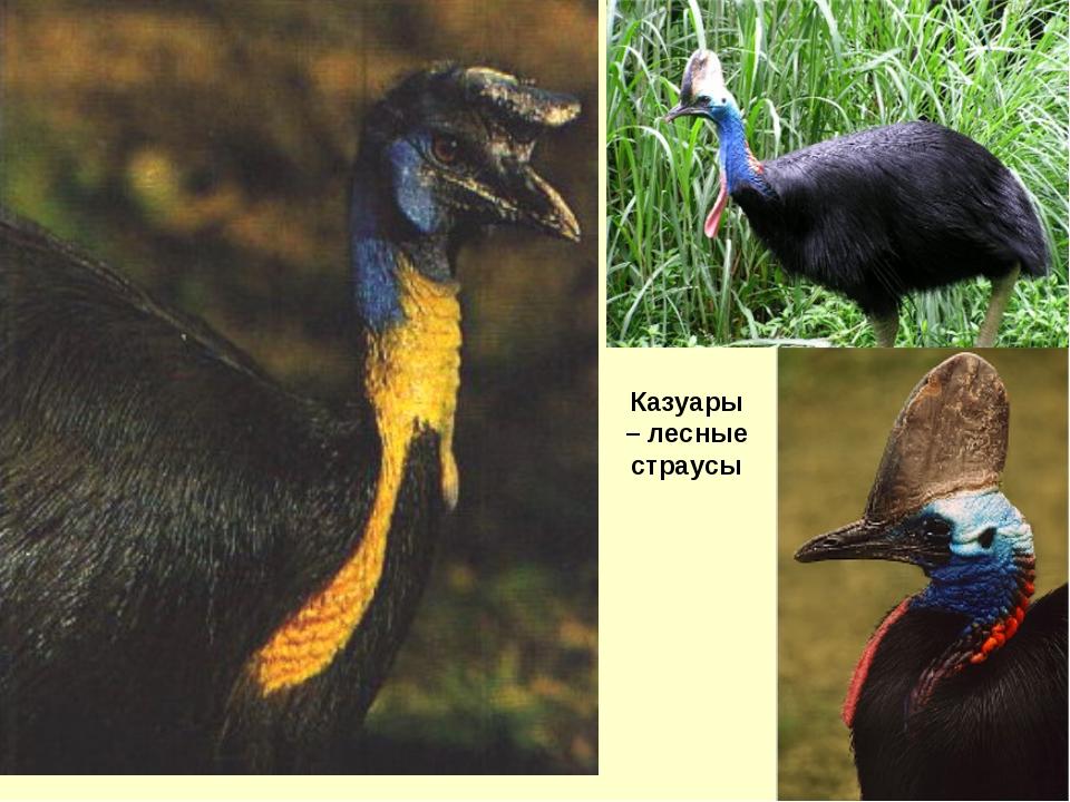 Казуары – лесные страусы