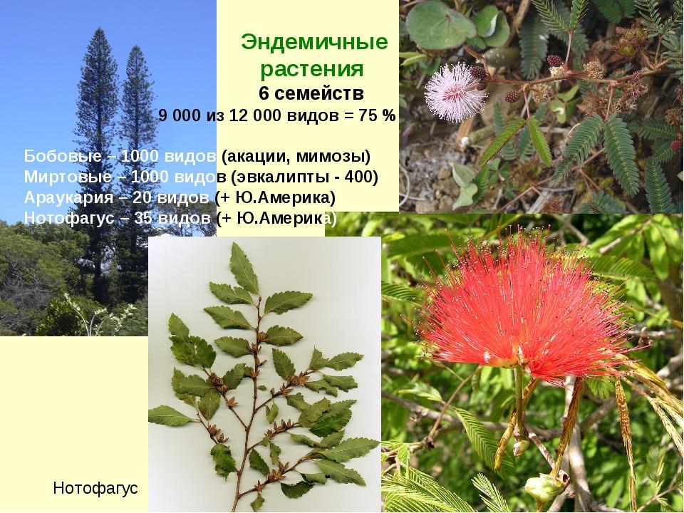 Эндемичные растения 6 семейств 9 000 из 12 000 видов = 75 % Бобовые – 1000 в...