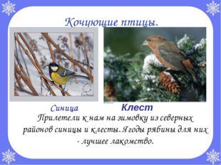 Кочующие птицы. Прилетели к нам на зимовку из северных районов синицы и клес