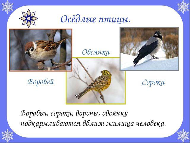 Осёдлые птицы. Воробьи, сороки, вороны, овсянки подкармливаются вблизи жилищ...