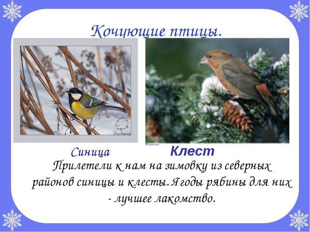 Кочующие птицы. Прилетели к нам на зимовку из северных районов синицы и клес...