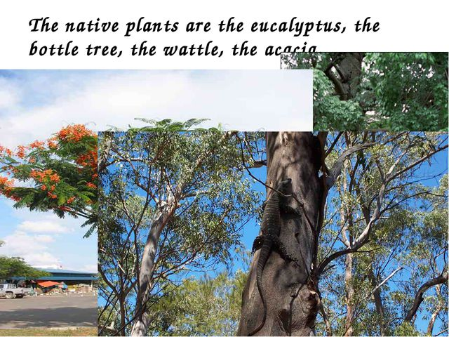 The native plants are the eucalyptus, the bottle tree, the wattle, the acacia.