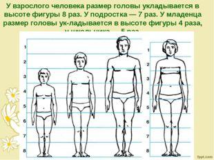У взрослого человека размер головы укладывается в высоте фигуры 8 раз. У подр