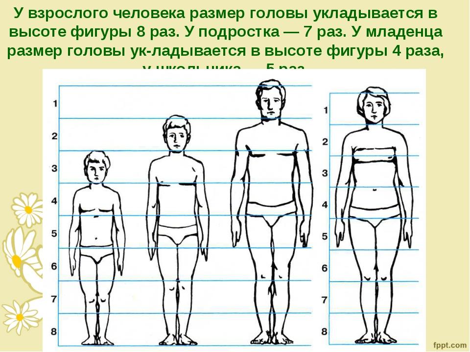 У взрослого человека размер головы укладывается в высоте фигуры 8 раз. У подр...