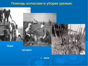 Помощь колхозам в уборке урожая. Уборка картофеля и хмеля
