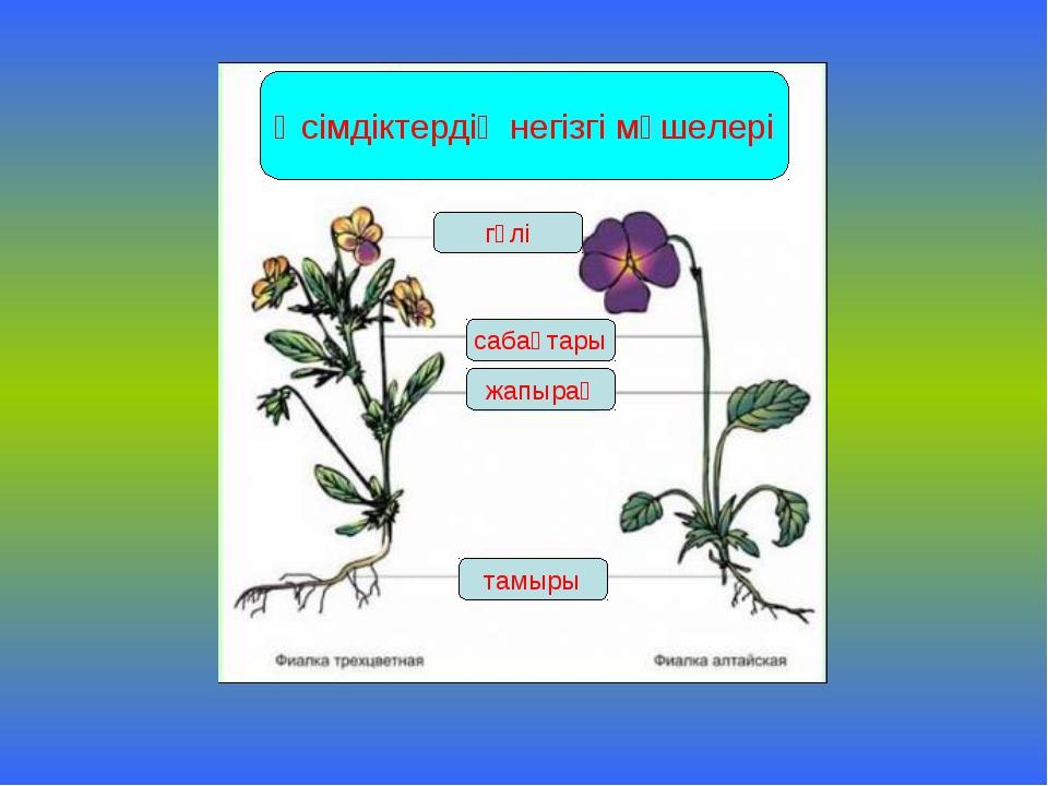 Өсімдіктердің негізгі мүшелері гүлі сабақтары жапырақ тамыры