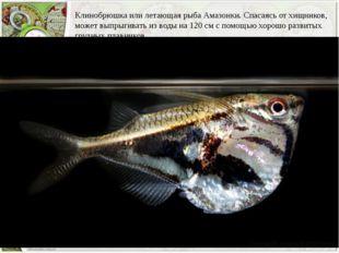 Клинобрюшка или летающая рыба Амазонки. Спасаясь от хищников, может выпрыгива