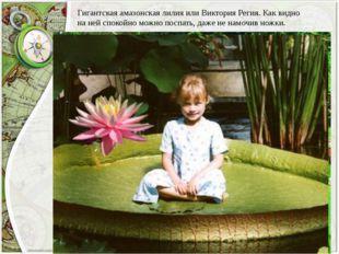 Гигантская амазонская лилия или Виктория Регия. Как видно на ней спокойно мож