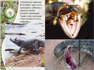 Амазонские кайманы исполняют здесь роль крокодила, кайманы с удовольствием по