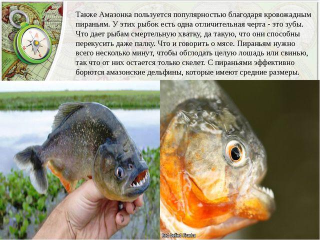 Также Амазонка пользуется популярностью благодаря кровожадным пираньям. У эти...