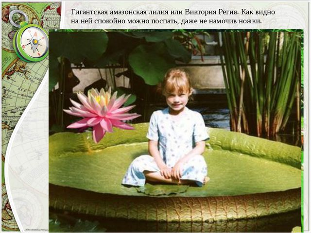Гигантская амазонская лилия или Виктория Регия. Как видно на ней спокойно мож...